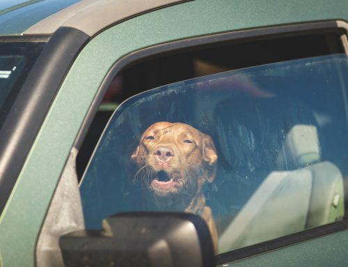 Safe Summer Adventures With Your Pet